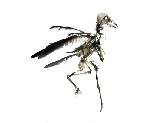 Bird skeleton 499 xxx q85